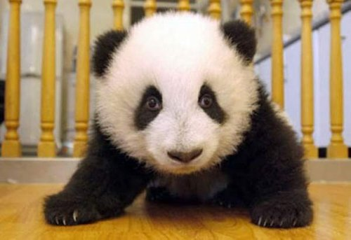 Giant panda cubs are expected to eat solids at four ...